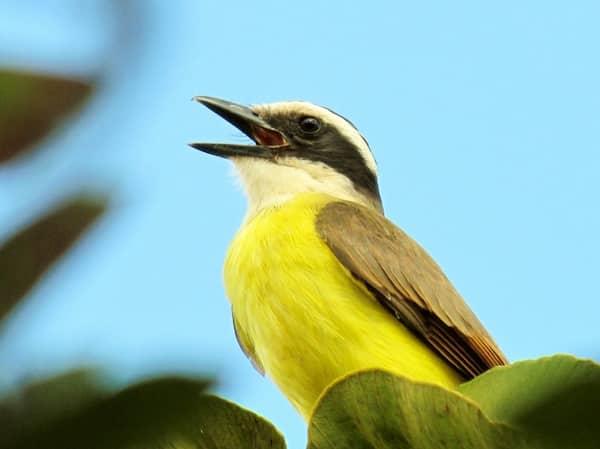 stembevrijding, zingende vogel