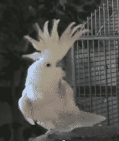 Snowball de Kaketoe danst, ritmische dieren met ritmegevoel, muzikale beesten